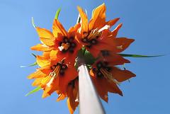 CONCEIT ( goraiapick ) Tags: flower beauty stem pretty bluesky pride excapture