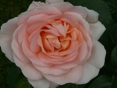Rose (Mandy Verburg) Tags: pink flower nature rose natuur roos roze bloem thebiggestgroup mandyarjan