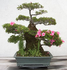 Azalea Bonsai (Cowtools) Tags: fern washingtondc spring bonsai azalea nationalarboretum may2007