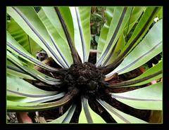 The crown of Bird's Nest Fern