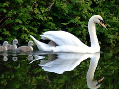 Hitching a ride (Chris Beesley) Tags: park reflection water pool canal spring swan pond cheshire finepix fujifilm cygnets naturesfinest lymm blueribbonwinner s5600 supershot featheryfriday specanimal animalkingdomelite aplusphoto 200750plusfaves avianexcellence diamondclassphotographer flickrdiamond superhearts swannybackride