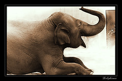 Elephant's Smile (DELPHINES) Tags: bw elephant smile animal zoo delphines spectacularanimals animalkingdomelite