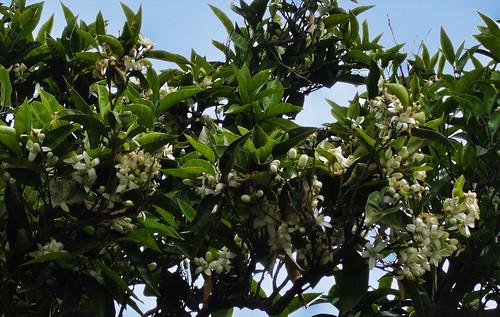 Procida -  Primavera - Alberi di Limoni in Fiore
