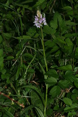 517493175 Common_Spotted_Orchid 2007-05-22_20:30:22 Homefield_Wood