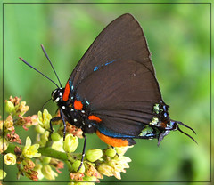 Great Purple Hairstreak (Atlides halesus) (sojourner photography) Tags: butterfly texas upcloseandpersonal inmygarden blueribbonwinner diamondclassphotographer