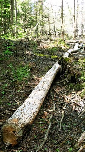 log felled by beaver