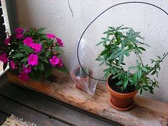 Passiflora ja juoppoliisa 22.5.07 (sivuaskel) Tags: green passiflora