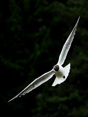 Tern turning (Rune T) Tags: bird wings gull flight feathers tern turning timing contast blackheaded 18200vr