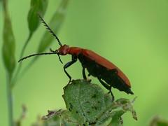 Pyrochroa serraticornis (Walwyn) Tags: insect beetle warwickshire coleoptera pyrochroidae pyrochroa pyrochroaserraticornis walwyn draycotemeadows