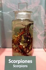 Scorpiones