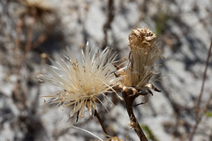 Podotheca gnaphalioides Seed (brundrett) Tags: springannual herb everlasting daisy