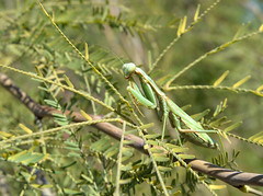 Phoenix 2016 - Praying Mantis 1 (casanova.frankenstein) Tags: arizona phoenix macro insect prayingmantis mesquite