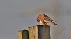 Kestrel      (Falco tinnunculus)      (Explored)   09-12-2016 (nick.linda) Tags: 25inexplore kestrel femalekestrel falcotinnunculus birdofprey prey rspbsaltholme wildandfree canon7dmkii sigma150600c