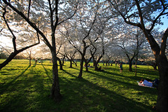 Cherry Trees at the Washington Monument (ehpien) Tags: canon washingtondc searchthebest 5d cherrytrees anawesomeshot 1635usm
