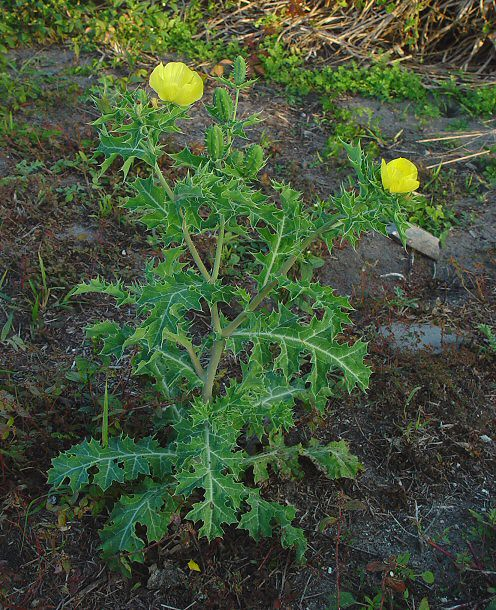 Argemone_mexicana_plant by calling_from_india