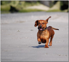 Short, Fast and Loud....! (Buikschuivers) Tags: dog beach alex fun run dachshund furryfriday maasvlakte teckel buikschuivers anawesomeshot diamondclassphotographer flickrdiamond