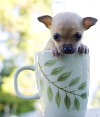 Cup-O-Chihuaua