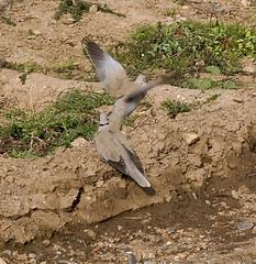 Tortolas 1 (joaquim_cazorla) Tags: birds aves animales tortola streptopeliadecaocto eareddove pentaxk10d