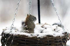 squirrely in a basket (eva8*) Tags: snow squirrel basket april redsquirrel squirrely eva8