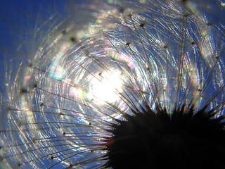 Dandelion diffractions