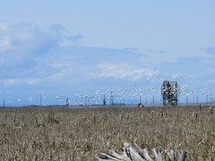 migration of the snow geese (kafetzou) Tags: steveston marshland snowgeese