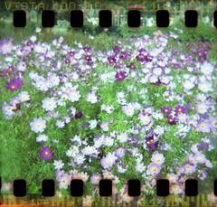 cosmos field (with sprocket holes) (miwas) Tags: holga sprocketholes film toycamera plasticlens japan c41 agfavista hokkaido sapporo yurigaharapark cosmos flower pink