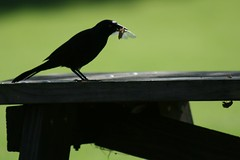 Common Grackle Eating a Brood XIII