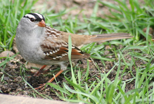 white-crowned sparrow 04 crop
