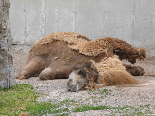Dead tired camel