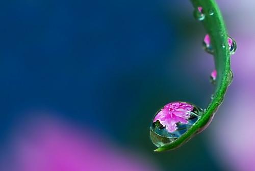drops of peony