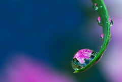 drops of peony - by Steve took it