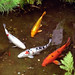 San Francisco - Golden Gate Park Japanese Tea Garden - Fish Roundup