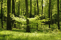 A bright  day in the forest in May (Ingrid0804) Tags: wood forest denmark spring may fabulous soe beech worldbest colorphotoaward abrightday natureselegantshots alemdagqualityonlyclub 100commentgroup saariysqualitypictures pfemerald primevalforestgroups