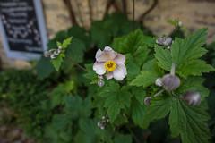 Lyme (coffee_ruth) Tags: plant plants flower flowers purple macro