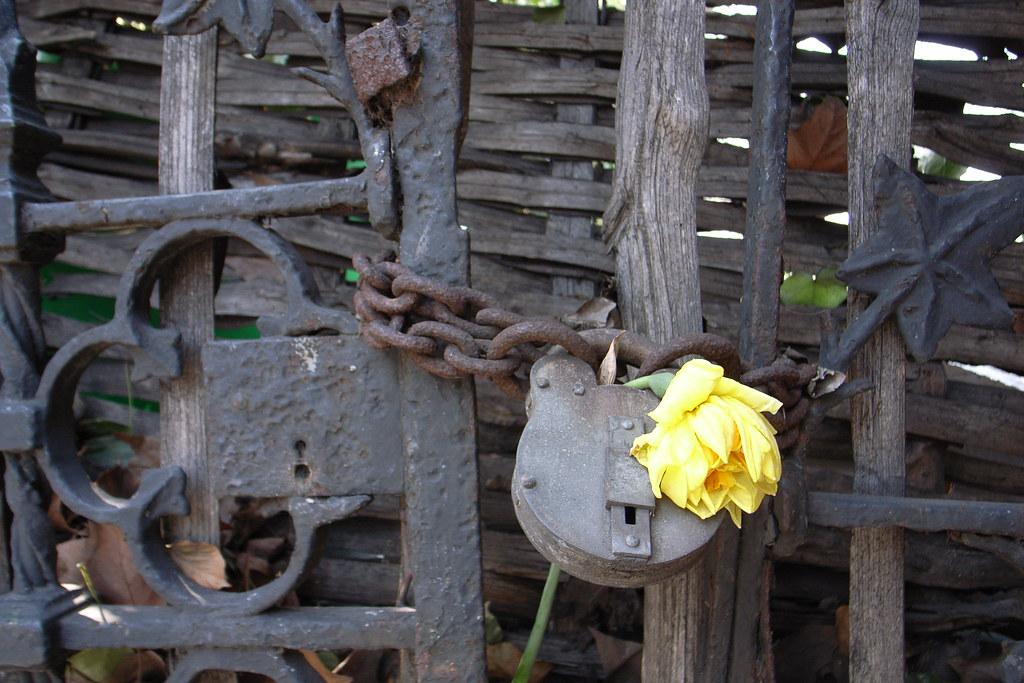 yellow flower on rusty lock
