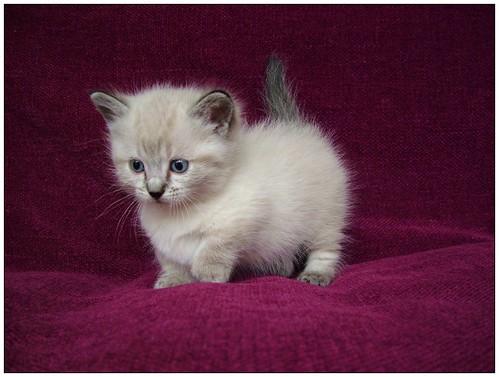 munchkin kitten picture