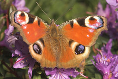 """Peacock Butterfly (Inachis io)(6) • <a style=""""font-size:0.8em;"""" href=""""http://www.flickr.com/photos/57024565@N00/450895040/"""" target=""""_blank"""">View on Flickr</a>"""