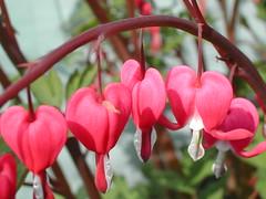 Open your Hearts... (frak992006) Tags: flower primavera scotland spring dundee printemps tayside szkocja schottland schotland wiosna scozia skottland