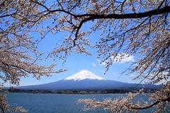 [フリー画像] [自然風景] [山の風景] [富士山] [桜/サクラ] [日本風景]      [フリー素材]
