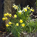 Narcissus, Rock Garden