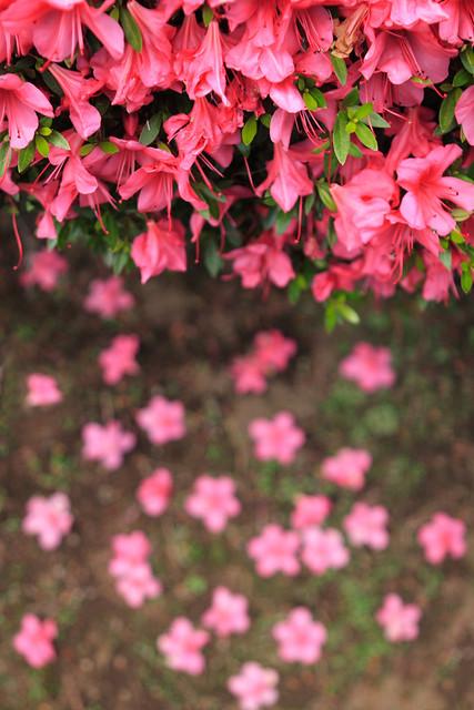 晩春の落花