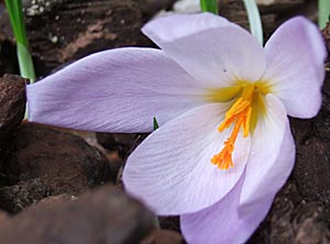 crocus in the Tea Garden