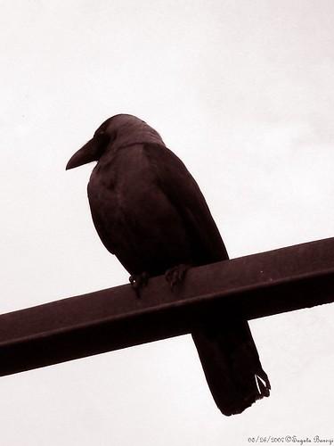 Meditative Crow
