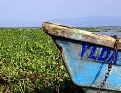 YLDA (uteart) Tags: lake mexico boat lakeside whitecrane ajijic chapala lagodechapala waterhyacinths holidaysvacanzeurlaub utehagen uteart