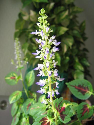 Flor de cóleo