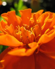 Orange (jaja_1985) Tags: flowers orange flower macro closeup marigold tagetes erecta tageteserecta africanmarigold
