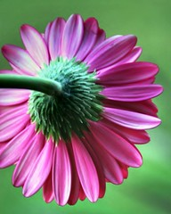 Pink Gerberas (whoops vision) Tags: pink flowers plants flower green nature garden petals stem gerberas abigfave superaplus aplusphoto superhearts