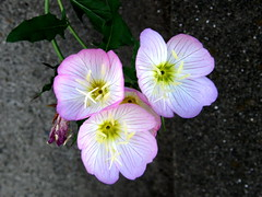 #4897 evening primrose () or showy evening primrose () (Nemo's great uncle) Tags: flower tokyo evening flora   oenothera primrose eveningprimrose stricta  setagayaku oenotherastricta tky tamagawadai