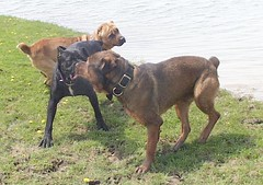 Rex, Maggie, Napoleon (muslovedogs) Tags: playing dogs maggie napoleon rex canecorso mastweiler