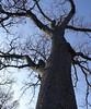 White Oak in Winter (Harry Lipson) Tags: whiteoak whiteoakinwinter oaktree oak tree branches treetrunk verticality arboreal harrylipson harrylipsoniii
